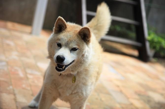 愛犬のあんずちゃん