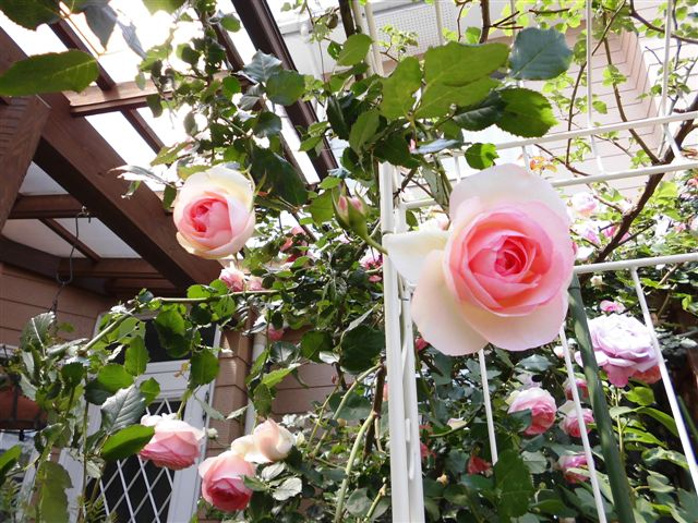 白いフェンスにバラを誘引4