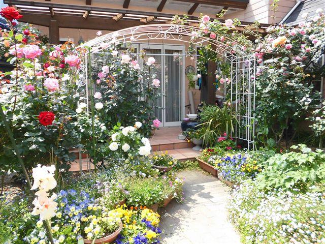 白いフェンスにバラを誘引2